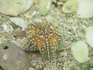 common_spiney_starfish_4