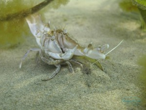 Mating Crabs amongst the Eel Grass Bed at Swanppol Beach