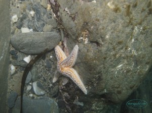 tiny_starfish