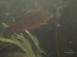 Fraggle_rock_wrasse_02