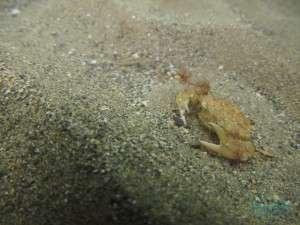 crab_07